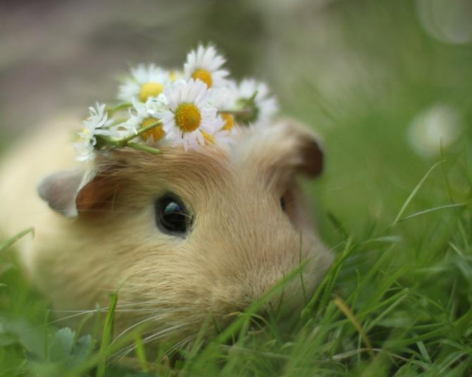 Hamster Guinea Pig