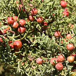 Juniper Berries Picture