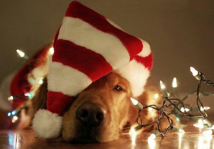 dog photo christmas card ideas - 12 Dog Holiday Ideas Funny Christmas Card