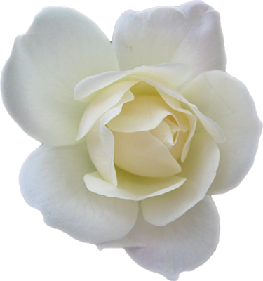 10 PSD White Rose Images