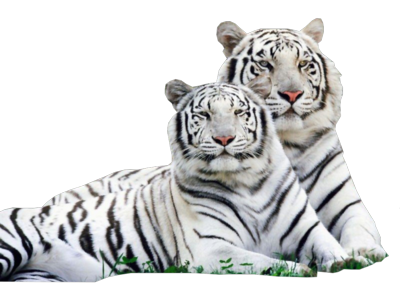 15 White Tiger PSD Images