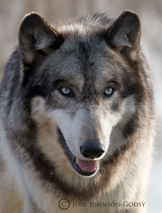 12 Cute Real Wolf Icon Images