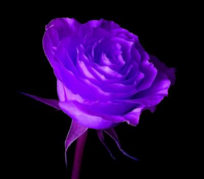 17 PSDs Purple Rose Images