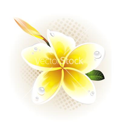 Plumeria Frangipani Vector