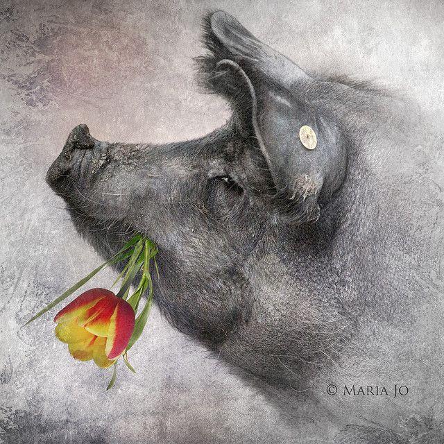 Animal Art Pig