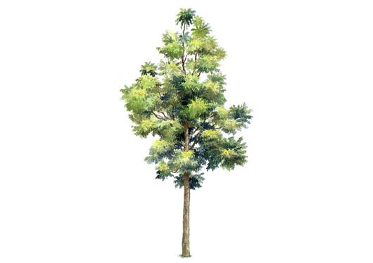 10 evergreen trees psd images blue spruce fir tree for Small decorative evergreen trees