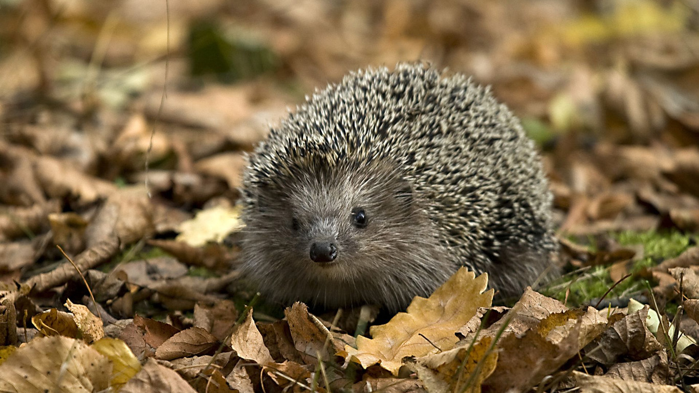 Hedgehog Similar Animals