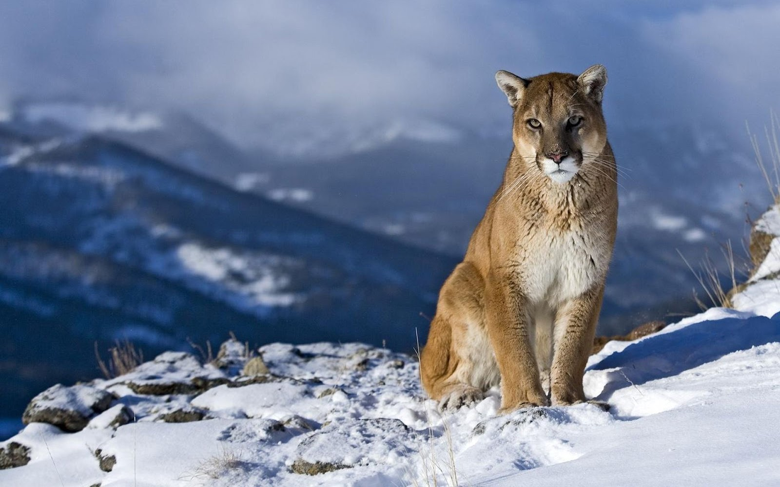 Mountain Lion Animals