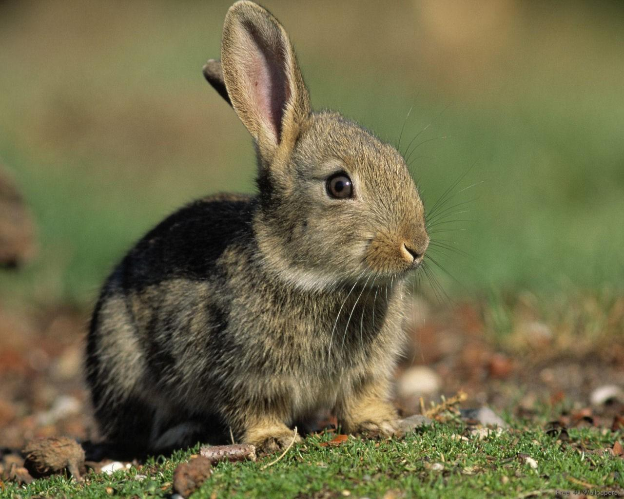 Rabbit Domestic Animals