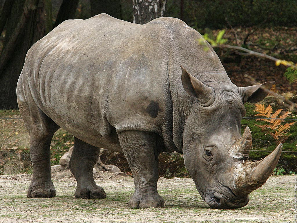 White Rhinoceros Animals