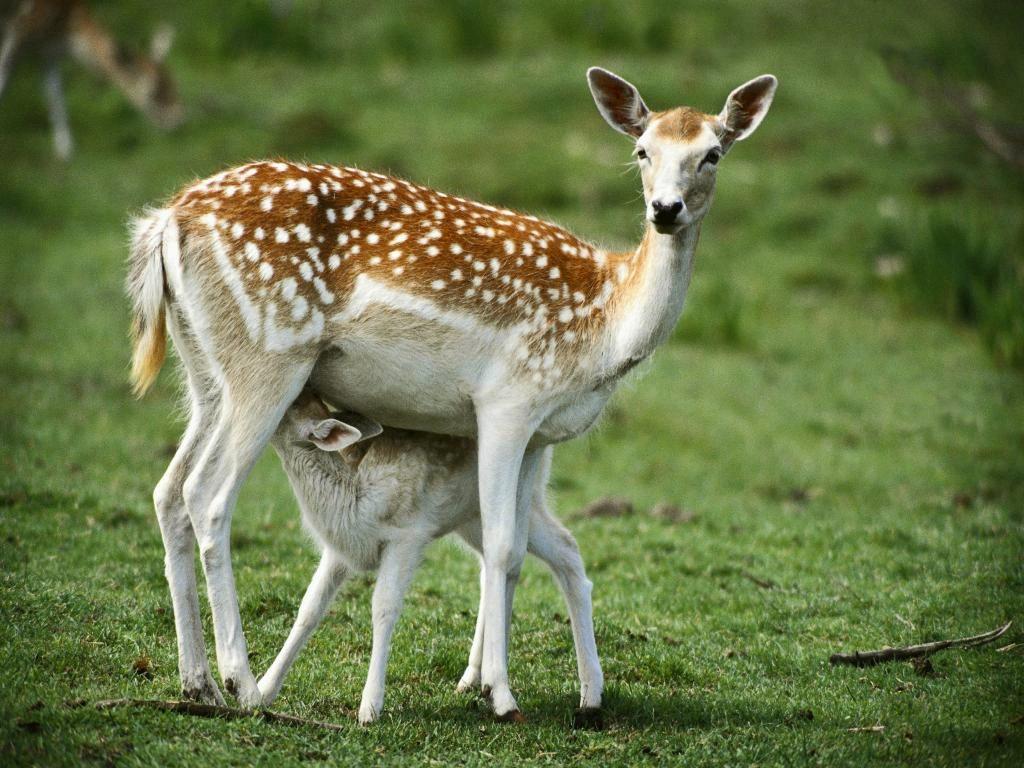 Deer Animal Totem