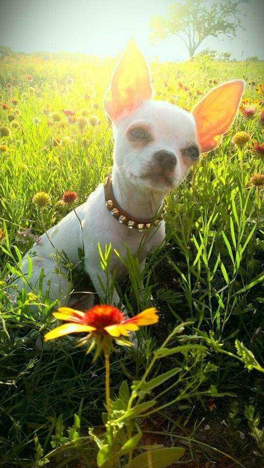 Springtime Chihuahua
