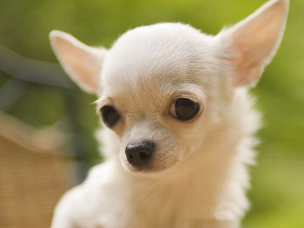 13 Animal Photography Pet Chihuahuas Images