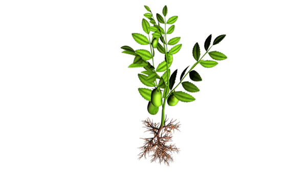 Bengal Gram Plant