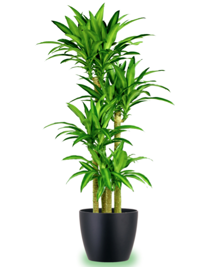Corn Indoor Houseplants