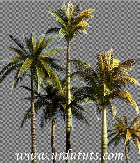 13 Coconut Tree PSD Images