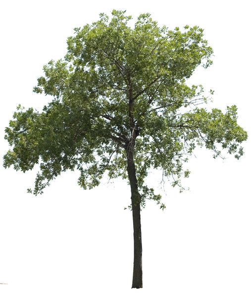 17 psd trees plants images psd tree free download birch tree vector image birch tree vectors free