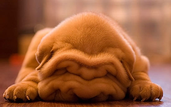 Cute Wrinkly Shar Pei Puppies