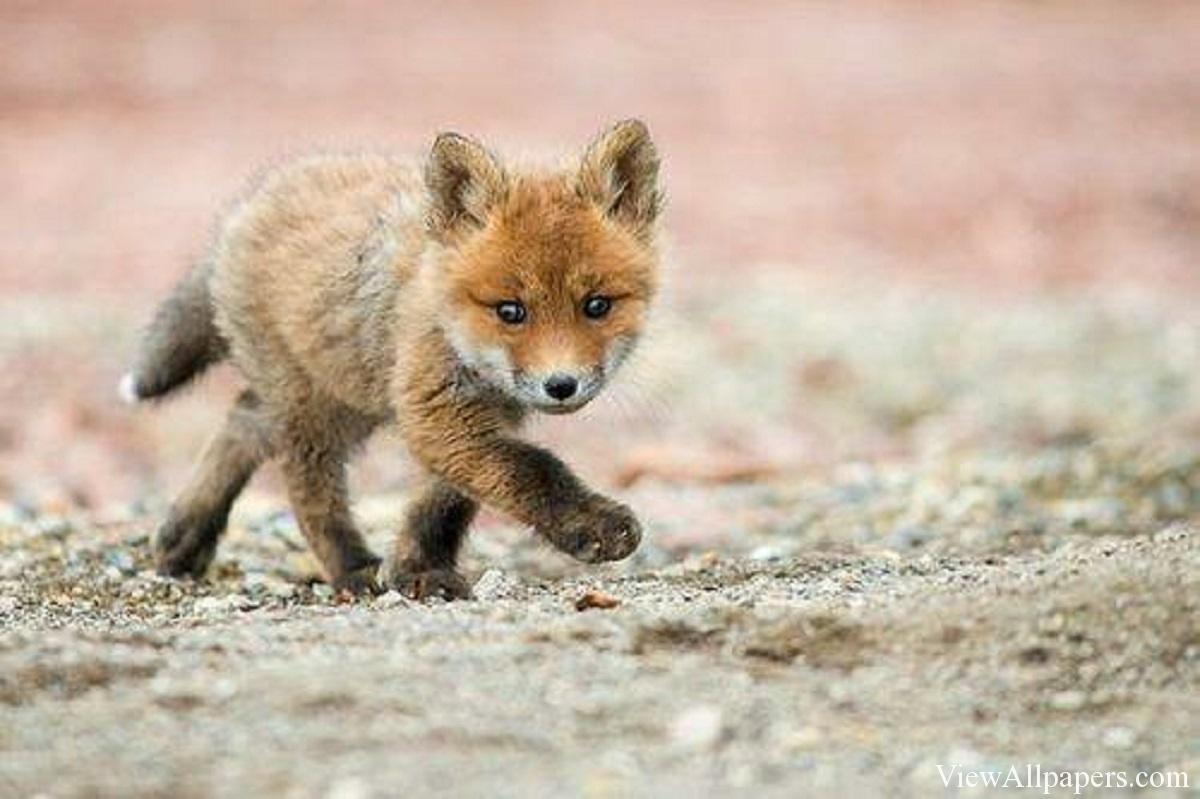 Fox Babies Animals