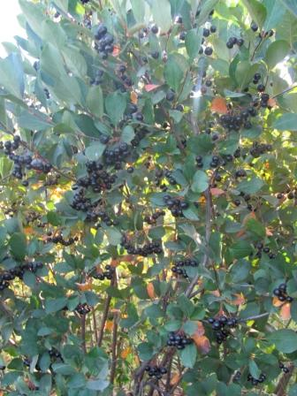 Aronia Berry Bushes