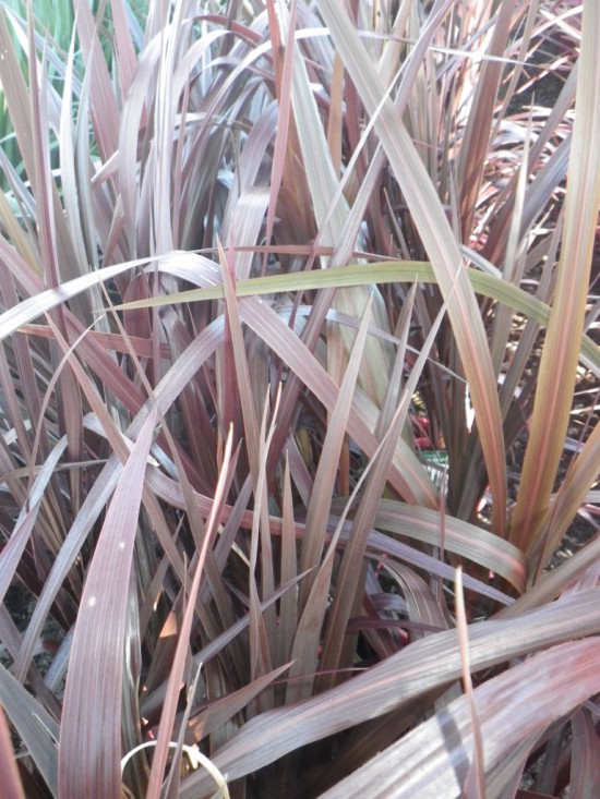 Cordyline Plant Black Knight