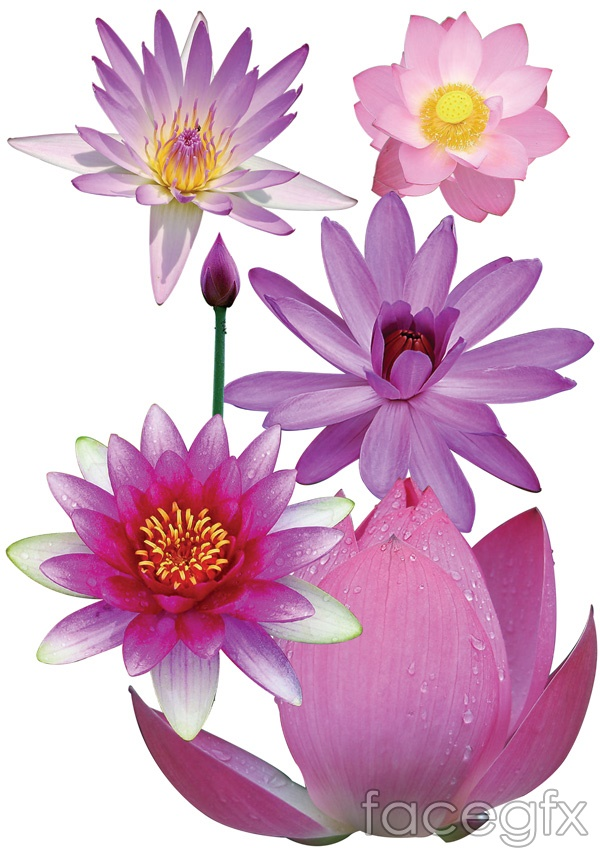 Lotus Flower Photoshop