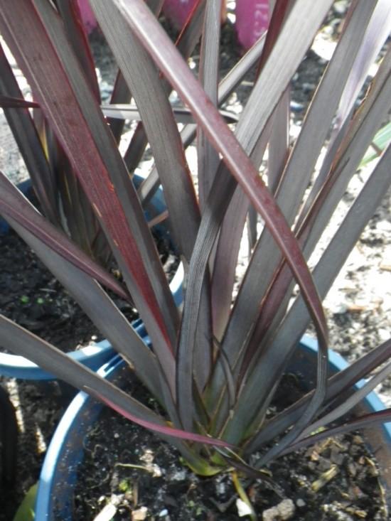 Phormium Blackadder Plants