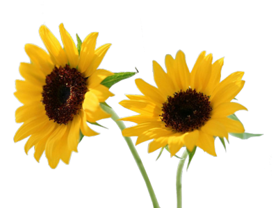 PSD Sun Flowers