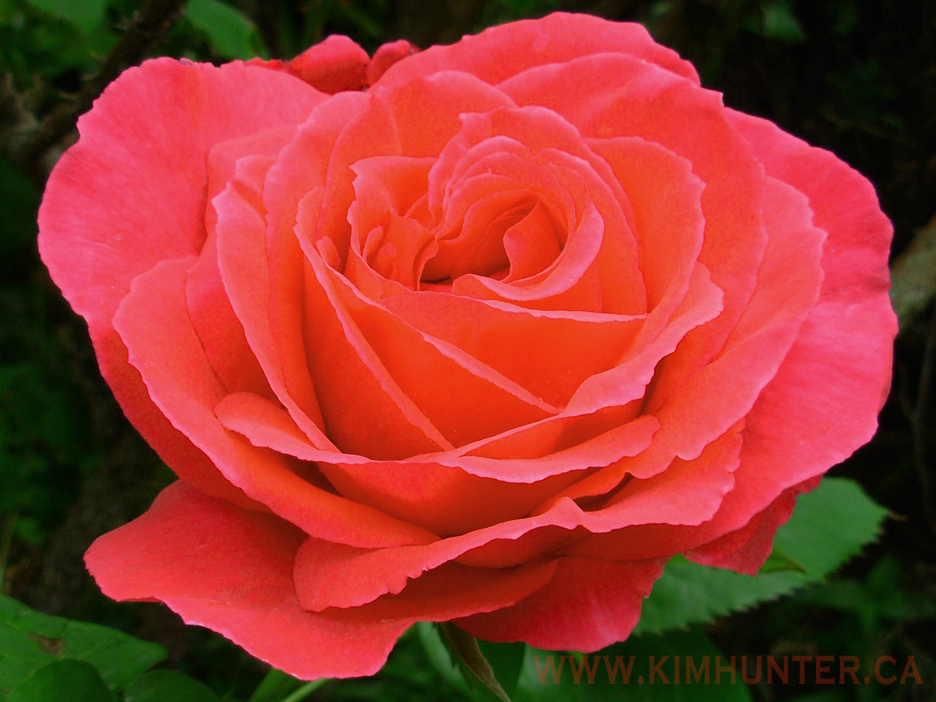 Free Red Rose Flowers