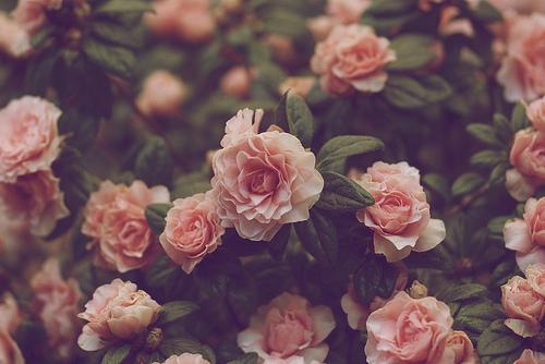 Vintage Pink Roses Tumblr