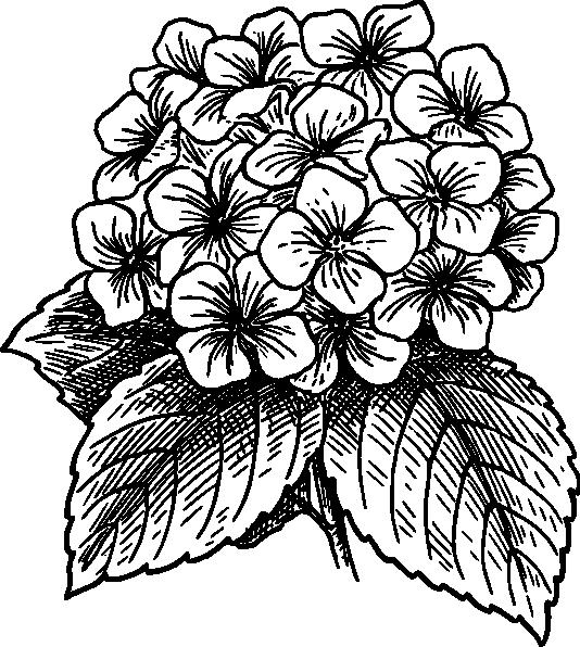 11 Hydrangea Vector Clip Art Images