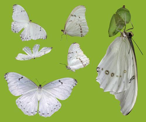 Butterflies White Morpho