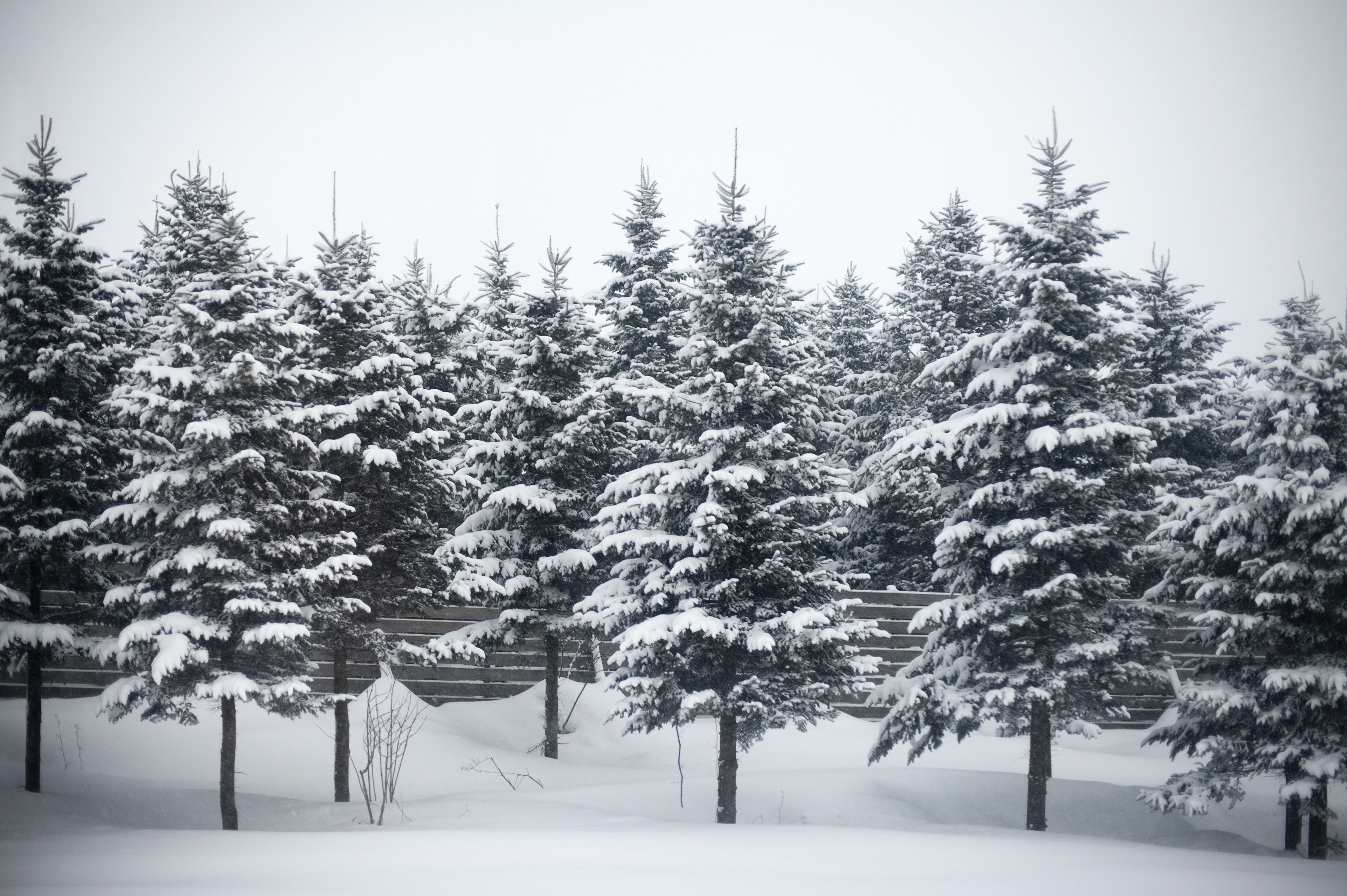 12 Free Stock Photo Pine Trees Winter Images