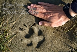 Wolf Footprints