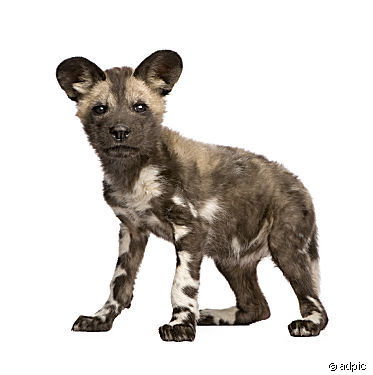 7 Wild Dog Vector Images