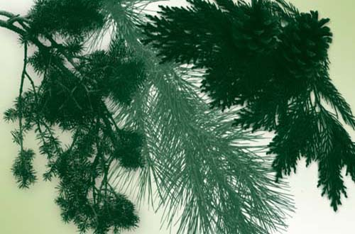 Pine Tree Photoshop Brushes