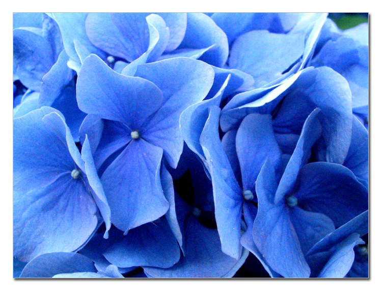 Blue Flowers Photography