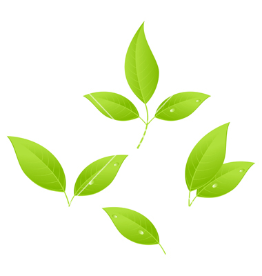 16 Leaves Tea Vector Images
