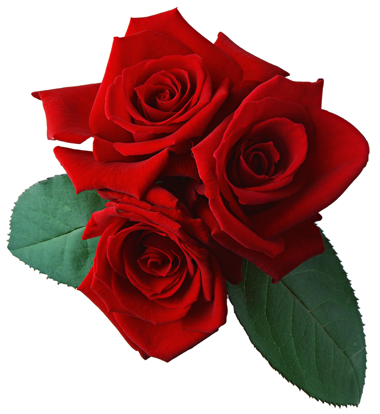 Red Rose with Transparent Background