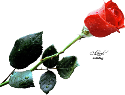 Full Red Rose PSD