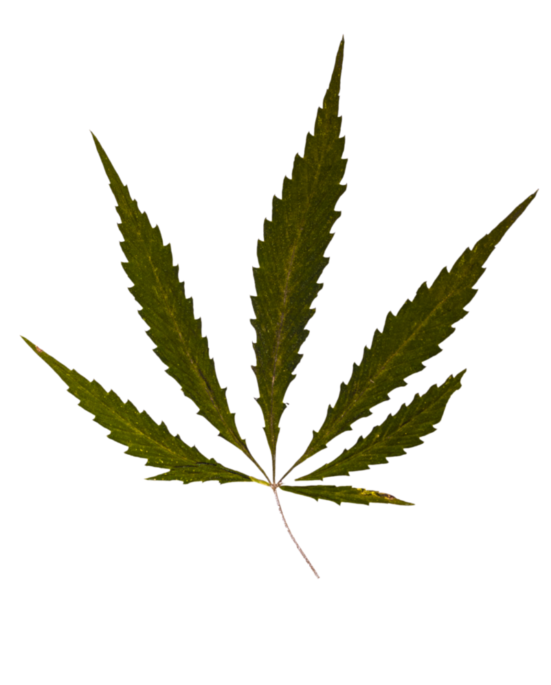 Weed Leaf Transparent
