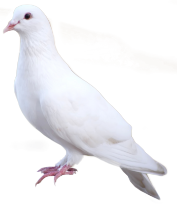 14 PSD White Dove Images