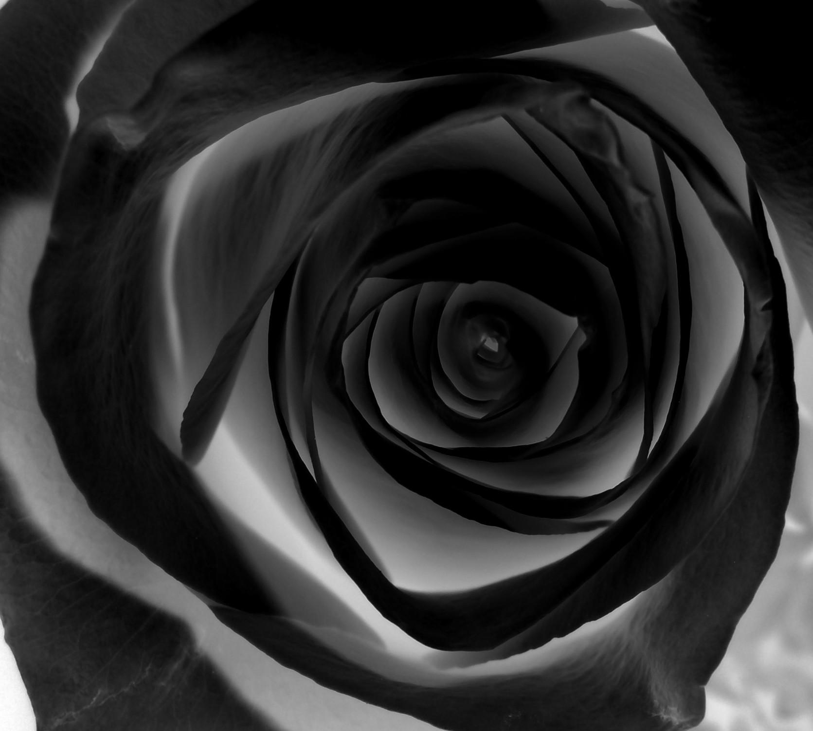 12 Black Rose Graphics Images Rose Black Background Design Black